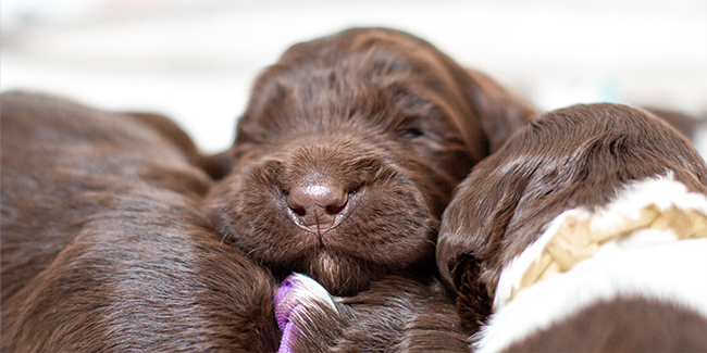 Buying a puppy: sleeping puppy's